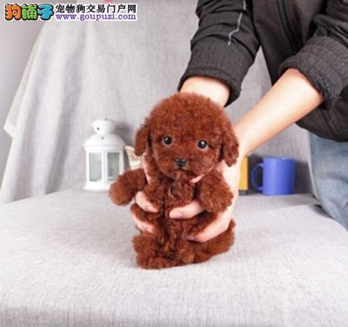 韩国引进茶杯泰迪 成犬1.5公斤 北京送狗上门挑选