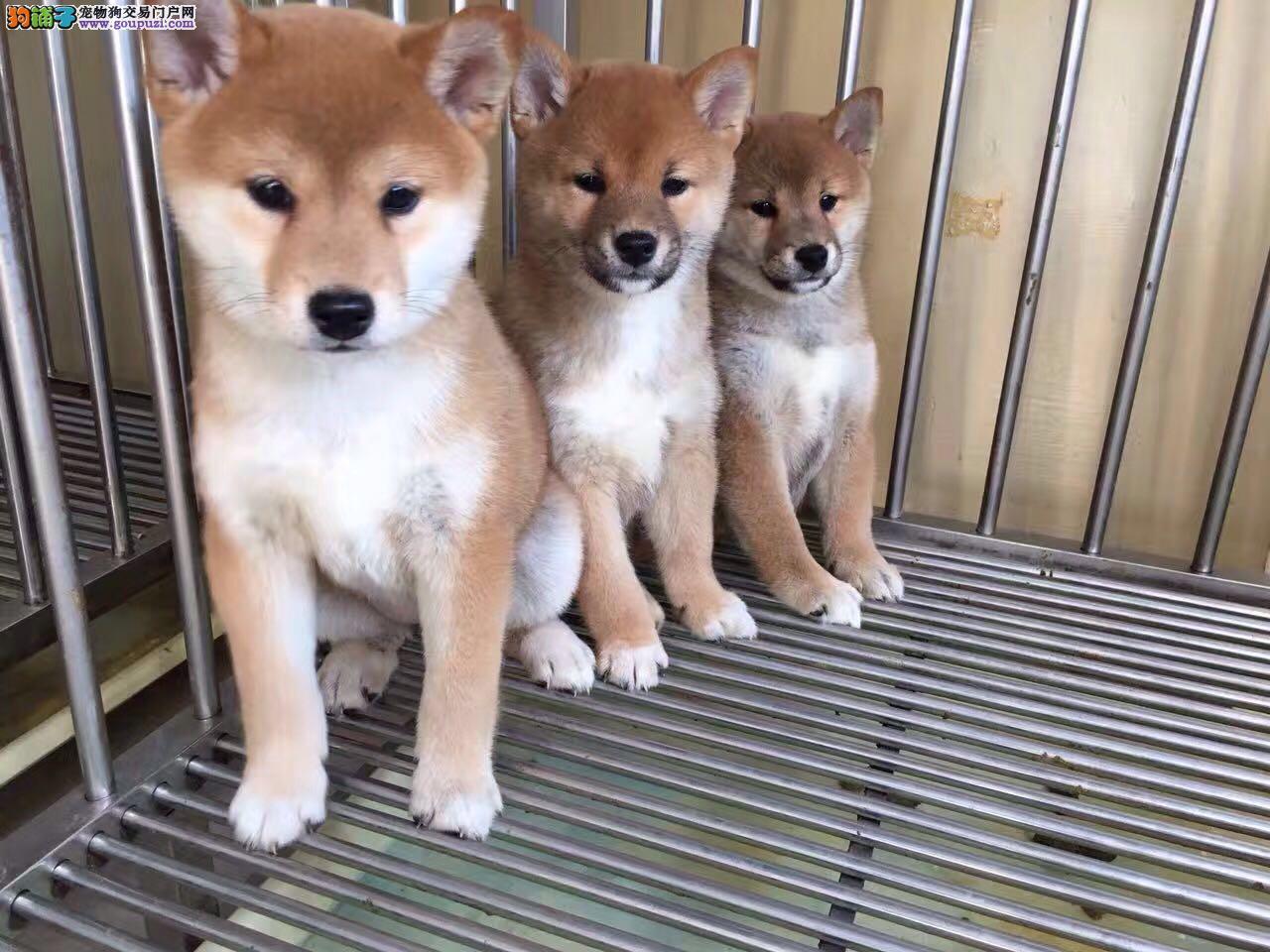 柴犬 养殖基地常年出售精品柴犬