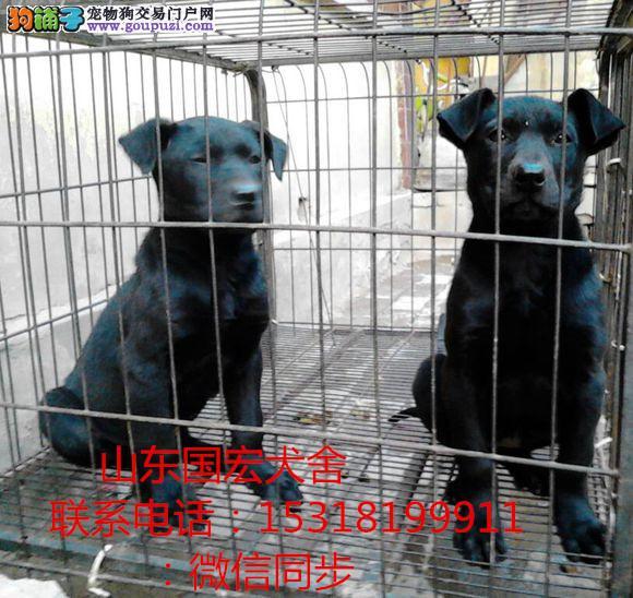 纯种黑狼犬多少钱 黑狼幼犬价格 狼犬养殖场