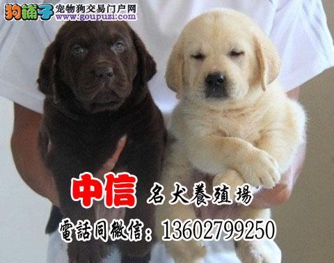 健康漂亮 纯种拉布拉多导盲幼犬 公母均有 疫苗
