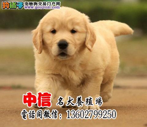 纯种金毛幼犬,活泼可爱,有多只可选,可视频挑送
