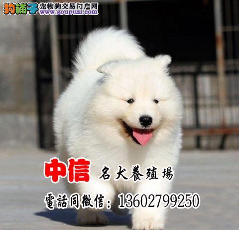 狗场直销纯种萨摩幼犬多只选择狗场包售后可签协议