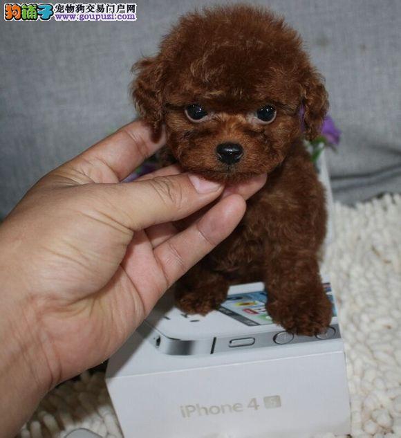 京康名犬出售茶杯犬泰迪犬多少钱纯种泰迪茶杯犬多少钱