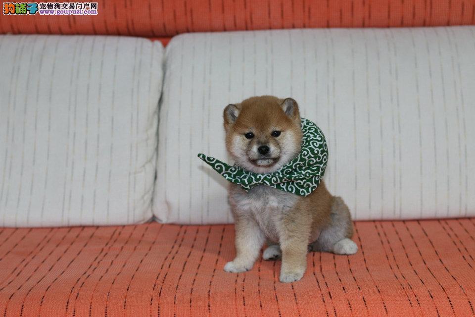 精品柴犬幼犬,黑色柴犬,白色柴犬,赤色柴犬