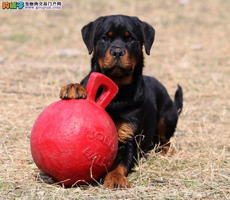 罗威纳幼犬出售、大头宽嘴吧