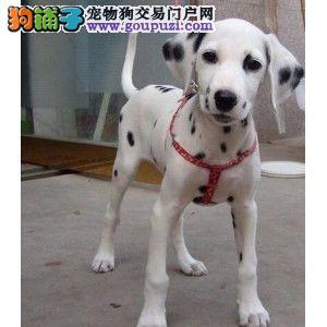 斑点犬,自家犬舍繁殖,品质好,可看视频