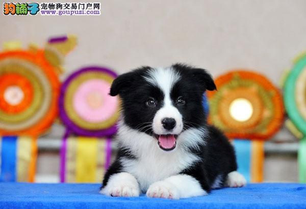 专业正规犬舍常年繁殖出售纯种边境牧羊犬