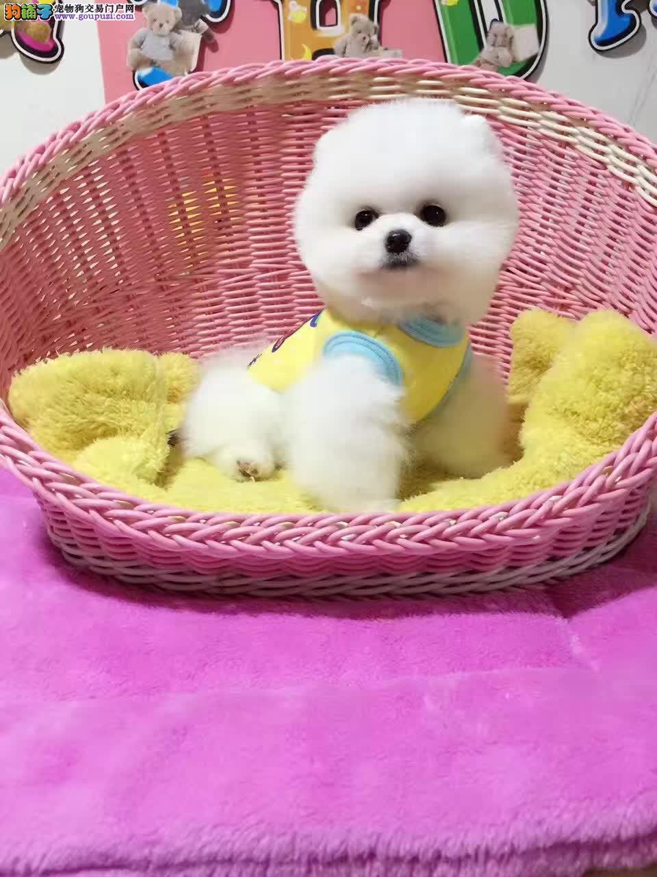 专业常年繁殖哈多利博美犬,正规犬舍出售小体博美