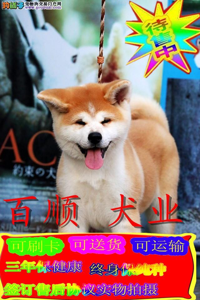 日系纯种秋田,美系纯种秋田犬,正规犬舍繁殖