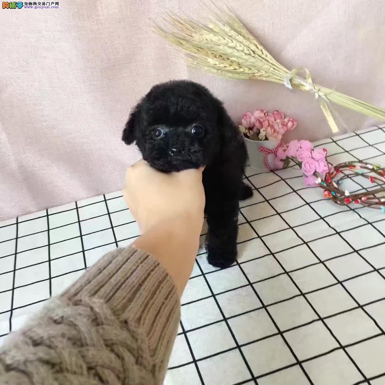 可爱纯种泰迪熊犬,正规犬舍繁殖,可看大狗