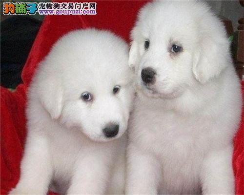 成都家养纯种繁殖纯种大白熊幼犬 自取1000
