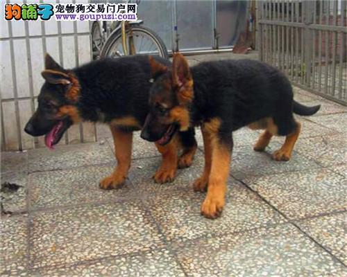 成都家养纯种漂亮德牧 狗狗保证健康纯种,自取1000