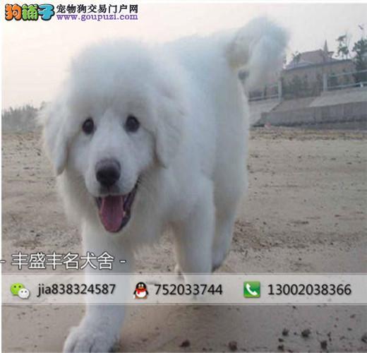 巨型大白熊 带CKU认证血统出售 完美售后 质量三包