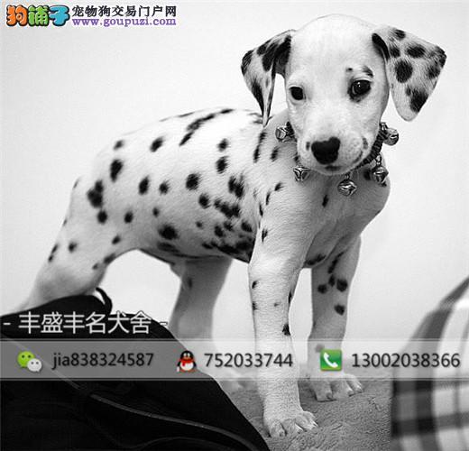 精品 斑点犬CKU认证血统 质量三包 完美售后