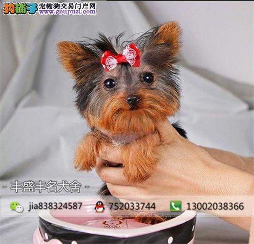 韩版超小体约克夏犬金头银背 茶杯体约克夏梗幼犬出售