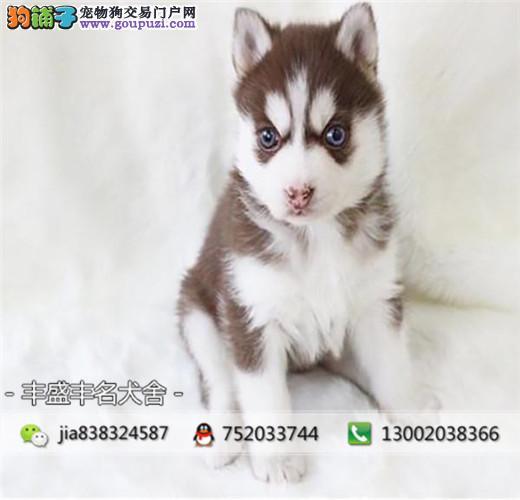 顶级哈士奇 双蓝眼 三把火 赛级幼犬