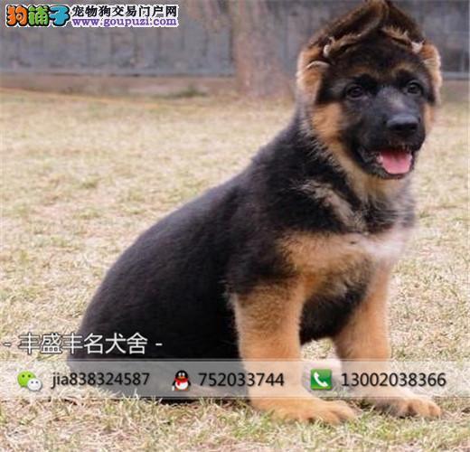 德国牧羊犬养殖犬舍出售高品质德牧,保纯保健康