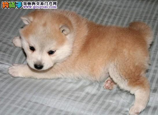 海口家养纯种秋田犬 自取半价 健康包1个月