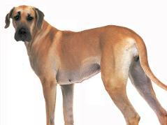 顶级精品大丹犬 纯种健康 购买有保障售后签协