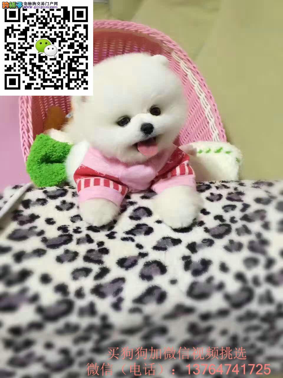 出售博美幼犬狗狗 三个月的白色黄色都有