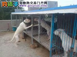 杜高犬 幼犬对外销售 公母均有 疫苗已做完