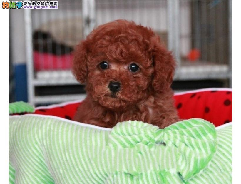 纯种泰迪犬出售欢迎上门挑选