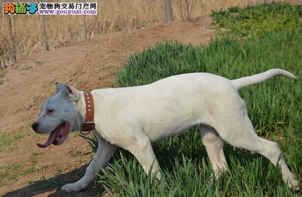 健康好杜高幼犬尽在这里 签订协议品质健康双保证