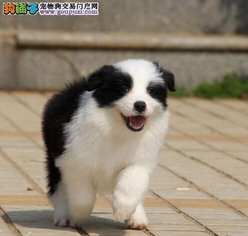 专业狗场繁殖顶级边牧幼犬健康质保多只可选