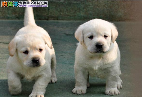 出售纯种的健康的拉布拉多幼犬导盲犬宠物狗狗