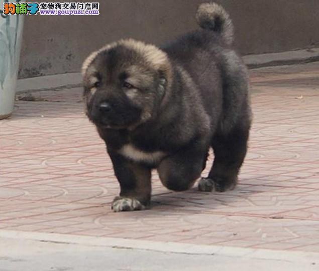 猛犬高加索繁殖基地繁殖优质纯种大骨架熊版高加索