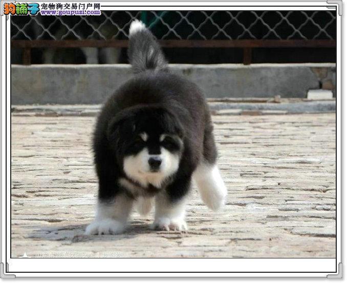 正规养殖场繁殖纯种阿拉斯加雪橇犬已打疫苗和驱虫.