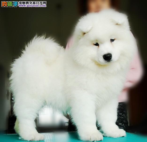 特价出售微笑萨摩耶幼犬,纯种健康,专业实体店