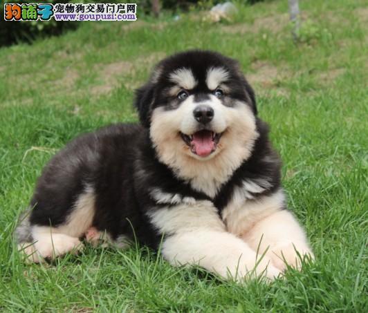 专业繁殖纯种红黑色阿拉斯加幼犬,品相好购买有保障