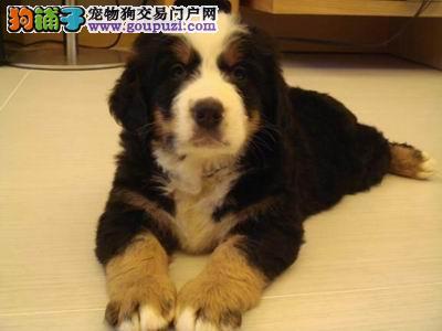 专业出售纯种健康伯恩山 多只可选 狗狗品质可保证