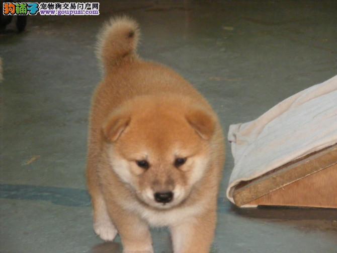 高品质纯种柴犬出售。纯种血统包退换
