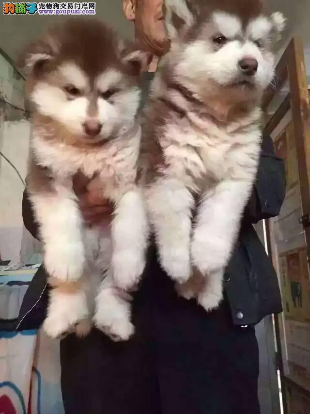 上海繁殖基地 常年出售阿拉斯加雪橇犬
