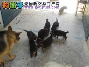 在上海买德牧就选七宠犬舍,支持狗到付款
