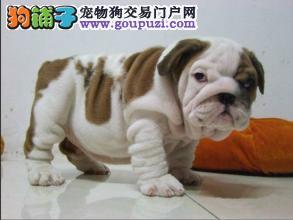 上海繁殖基地出售高品质英国斗牛犬