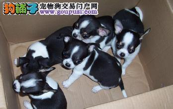 七宠犬舍常年出售各种名犬,包健康签协议