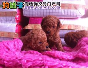 出售泰迪幼犬,包纯种包健康签协议