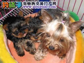 买约克夏就选上海七宠犬舍,包纯种健康