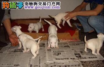 上海七宠犬舍常年出售牛头梗