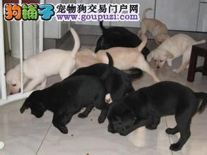 上海最畅销的拉布拉多导盲犬,就选七宠犬舍