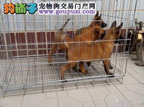 繁殖基地常年出售马犬 卡斯罗等名犬