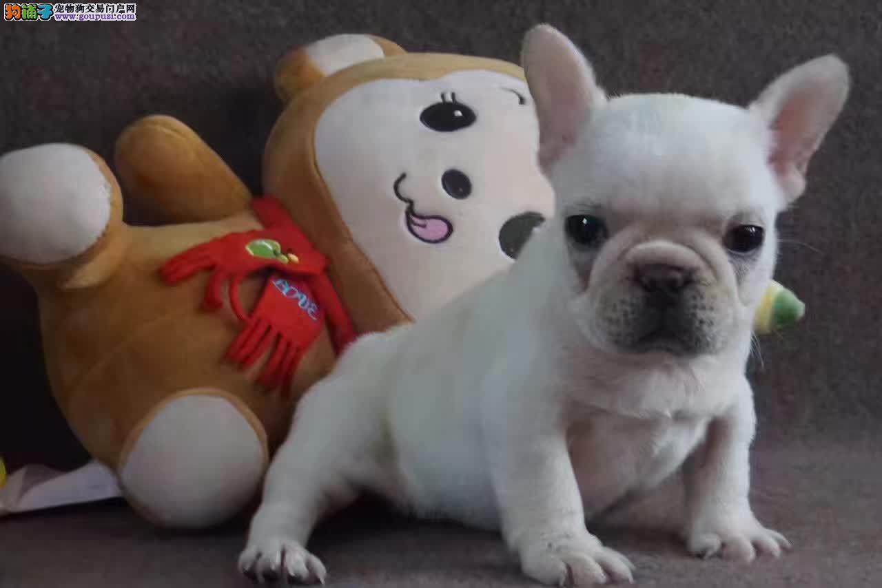 上海最权威的宠物繁殖基地出售高品质法斗