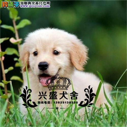 出售纯种 大骨架金毛犬 保证健康3个月退换