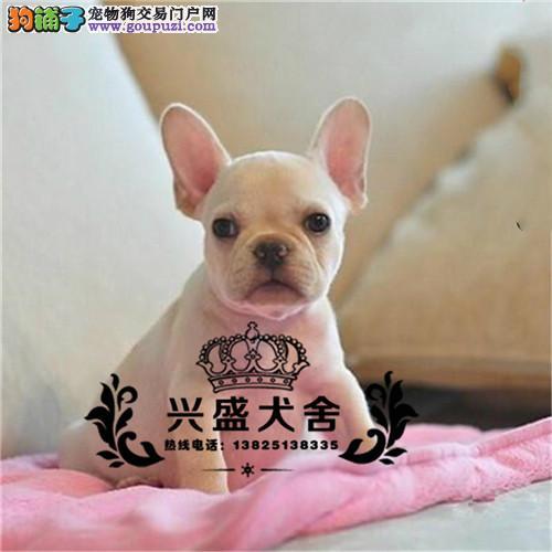 纯种犬繁殖基地出售法斗幼犬 疫苗做齐签订售后协议