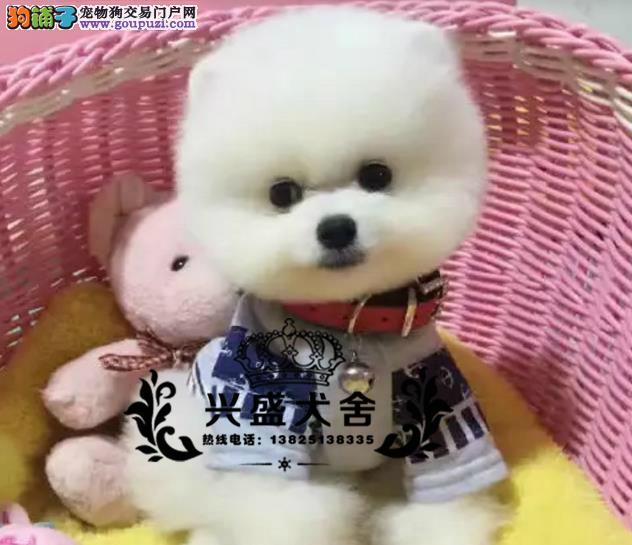 萌萌哒哈多利球体博美 博美幼犬 俊介宝宝 茶杯犬