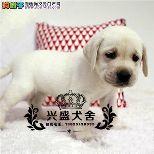 广东正规犬舍繁殖忠厚老实的小拉布拉多导盲犬幼犬