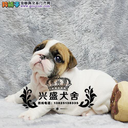 精品高端英国斗牛犬繁育专家出售顶级英牛犬 英斗幼犬